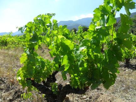 Les vignes entourent le village de Laroque des Albères